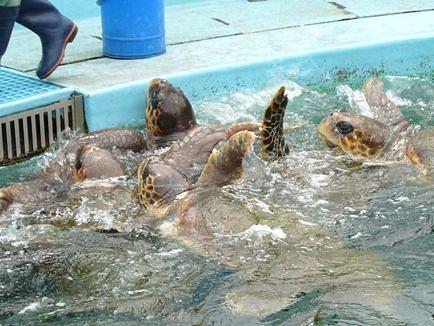 我先にと餌に群がるウミガメ達。