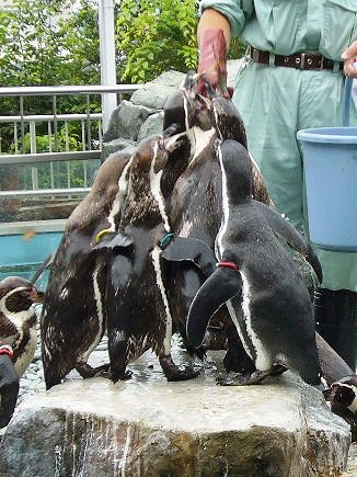 我先にと餌に群がるペンギン達。