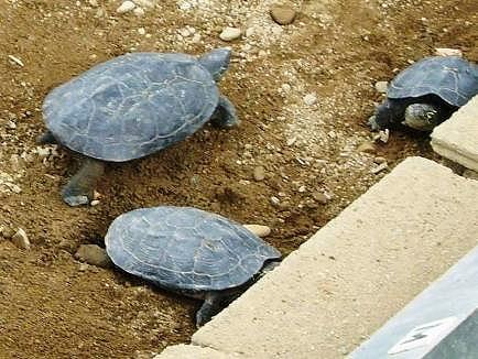 産卵するクサガメ達。