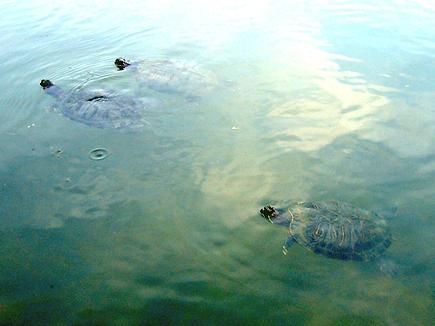 潜水艇のような亀達。