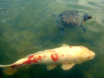 並泳する鯉と亀。