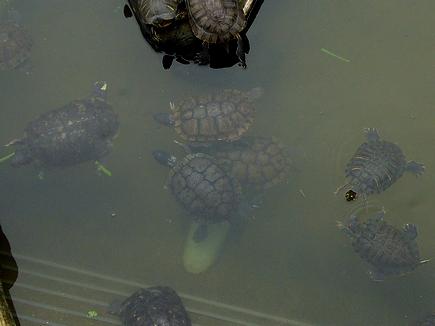 後ろに取り残された雄ガメ2匹。