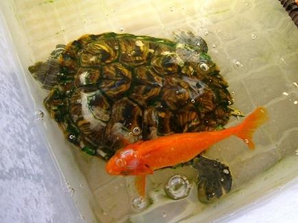 いくらでも食べたい万年空腹金魚。