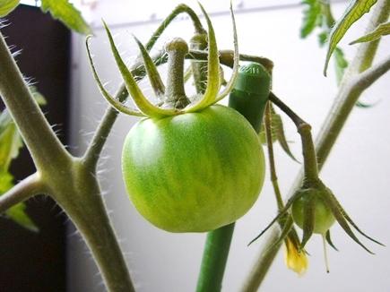 亀水トマトの実。